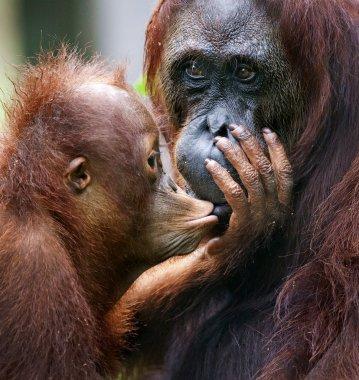 The cub of the orangutan kisses mum.