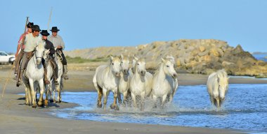 Running White horses of Camargue