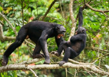 The Swearing and Aggressive Bonobo