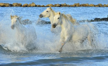 Herd of white horses running through water.