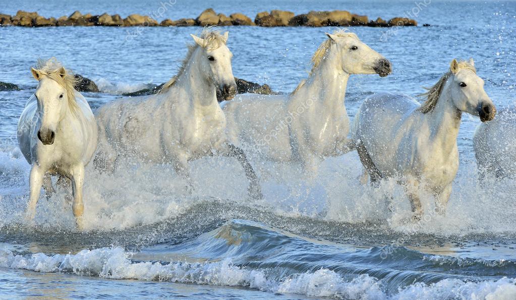 Herd Of White Horses Running Through Water Stock Photo Surzet