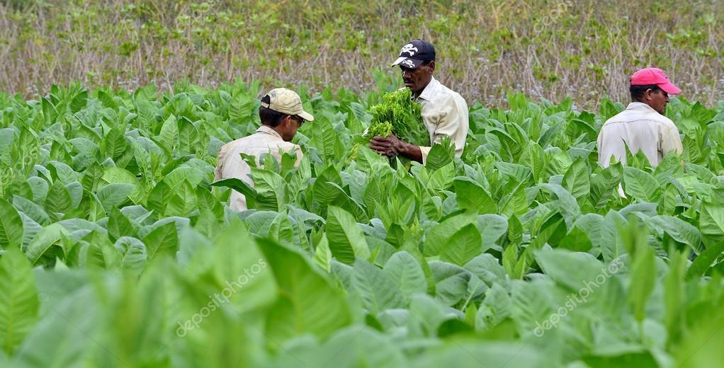 Men working on Cuba tobacco plantation.