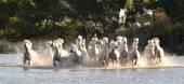 stádo bílých koní běží