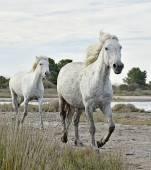 Ritratto del cavallo camargue bianco
