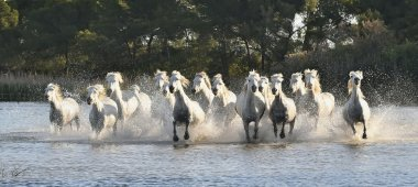 Herd of White Horses Running and splashing through water. Provance. France stock vector
