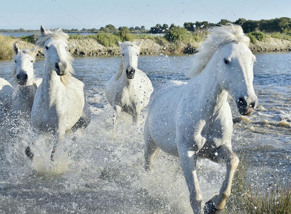 Herd of White Horses Running and splashing through water