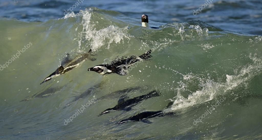 penguin, african, swimming, birds, colony, underwater, amphibians, cape town, boulders