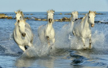 White Camargue Horses galloping through water