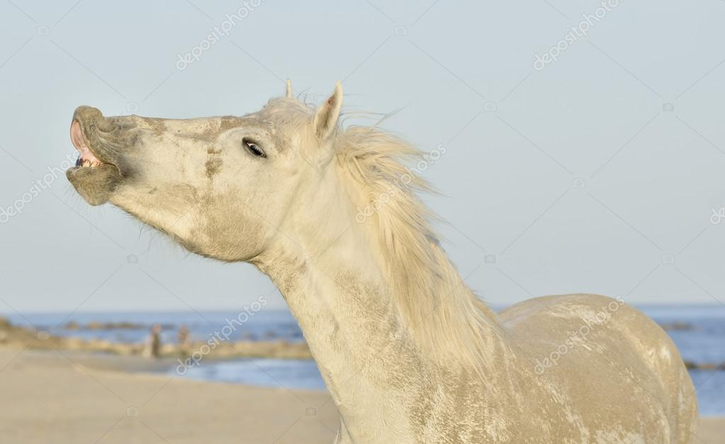 Funny grey horse laughing .