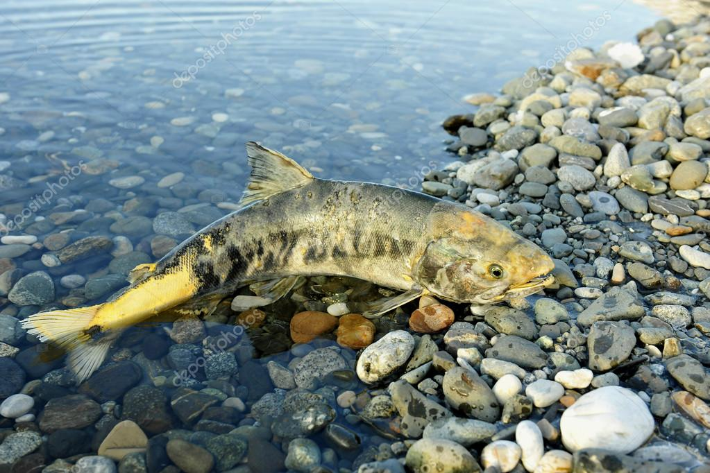 The chum salmon (Oncorhynchus keta)