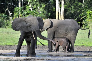 The African Forest Elephant (Loxodonta cyclotis) is a forest