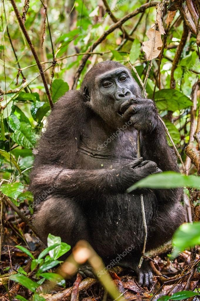 Lowland gorilla in jungle Congo.