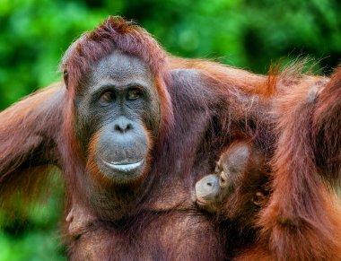 A female of the orangutan with a cub