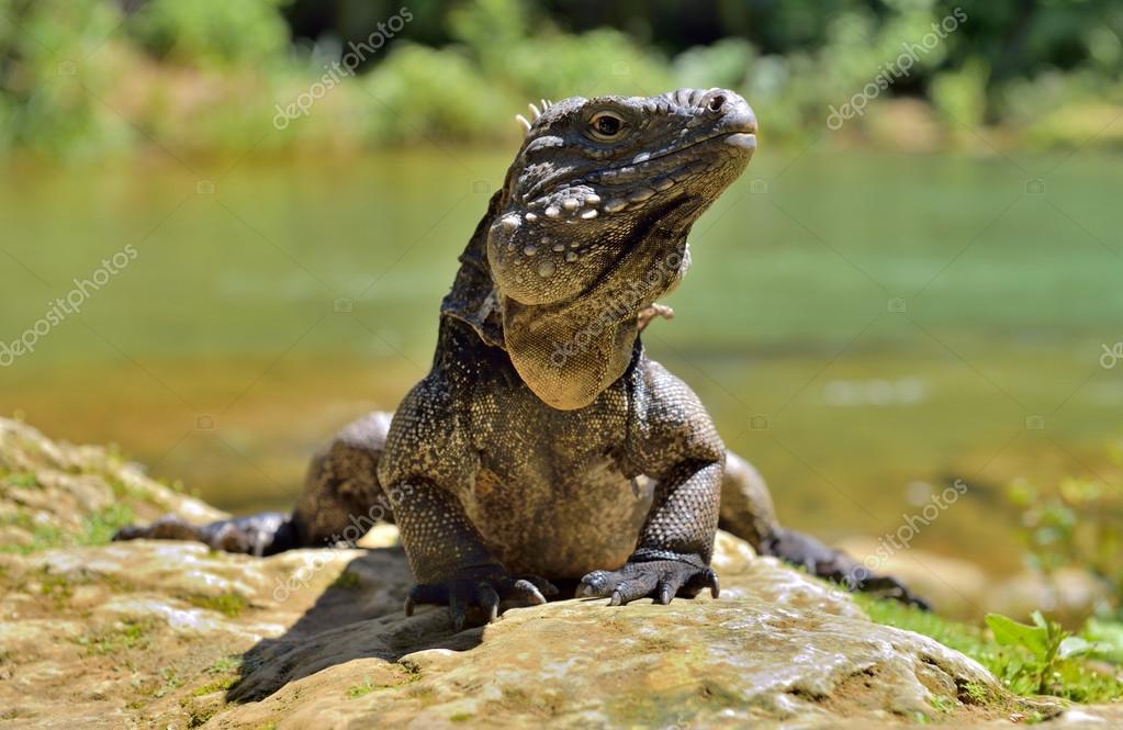 Iguana in the forest. Cuban rock iguana (Cyclura nubila), also known as the Cuban ground iguana.