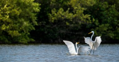 The fighting great egrets