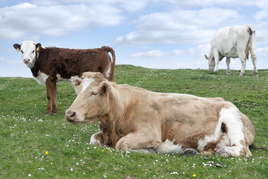 Irish cattle feeding on the lush green grass