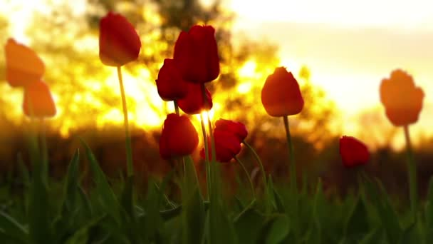 Flowers tulips on the background of a sunset