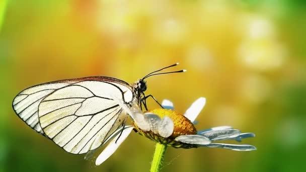 pillangó és kamilla reggeli harmat
