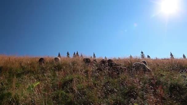 Herd of sheep grazing on yellow farm pasture