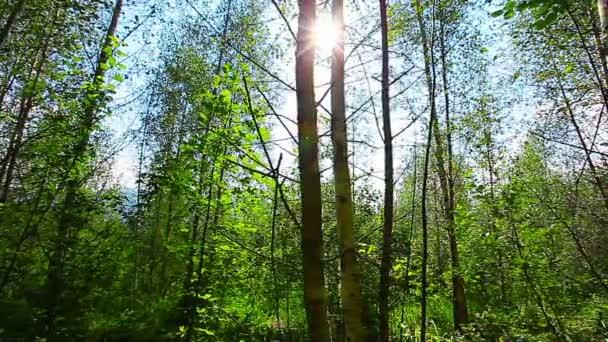 reggel az erdőben. a nap sugarai át a fák