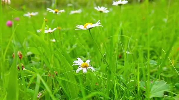 kvetoucí daisies v zelené trávě