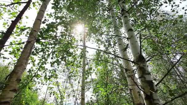 ráno v lese. sluneční paprsky procházejí stromy