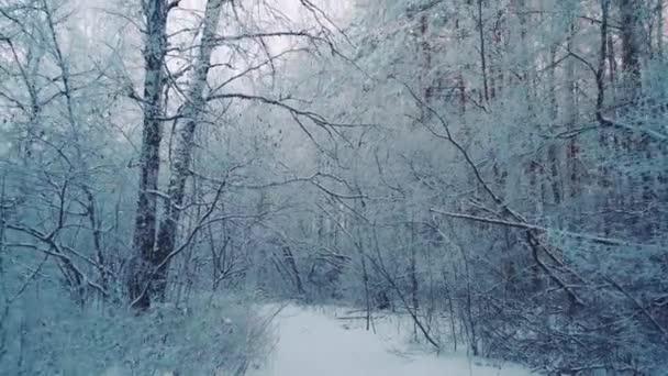 Séta a téli erdőben hófákkal borított fák egy gyönyörű fagyos reggel. Nincsenek emberek.