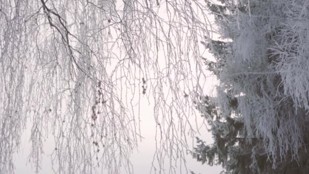 Walk through the winter forest with snow-covered trees on a beautiful frosty morning. No people