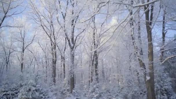 Procházka zimním lesem se zasněženými stromy za krásného mrazivého rána. Žádní lidé