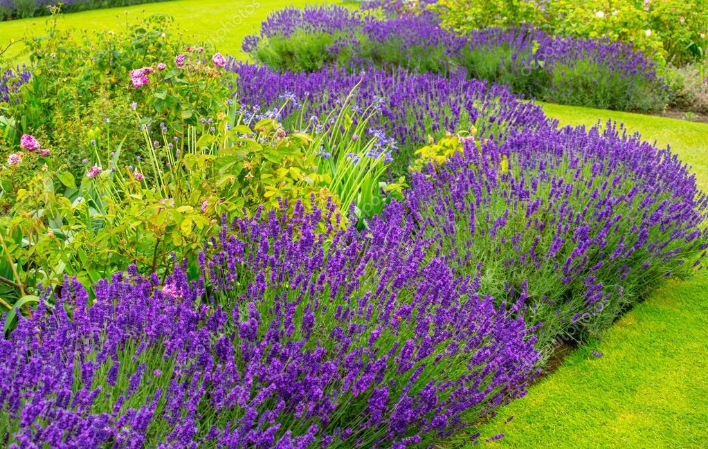 mooie zomer tuin met lavendel en rozen stockfoto