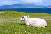 Photo Sheep and horses in the fields of Iona in the Inner Hebrides, Scotland Sheep in the fields of Iona in the Inner Hebrides, Scotland
