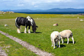Photo Sheep and horses in the fields of Iona in the Inner Hebrides, Scotland