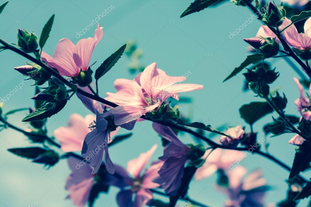 Beautiful pink Hollyhock flowers in the garden