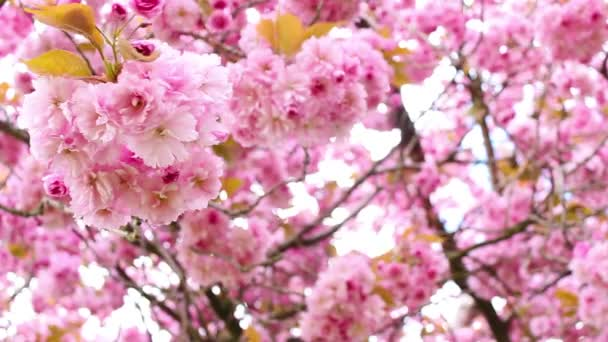 Květ růžový japonské strom ve větru