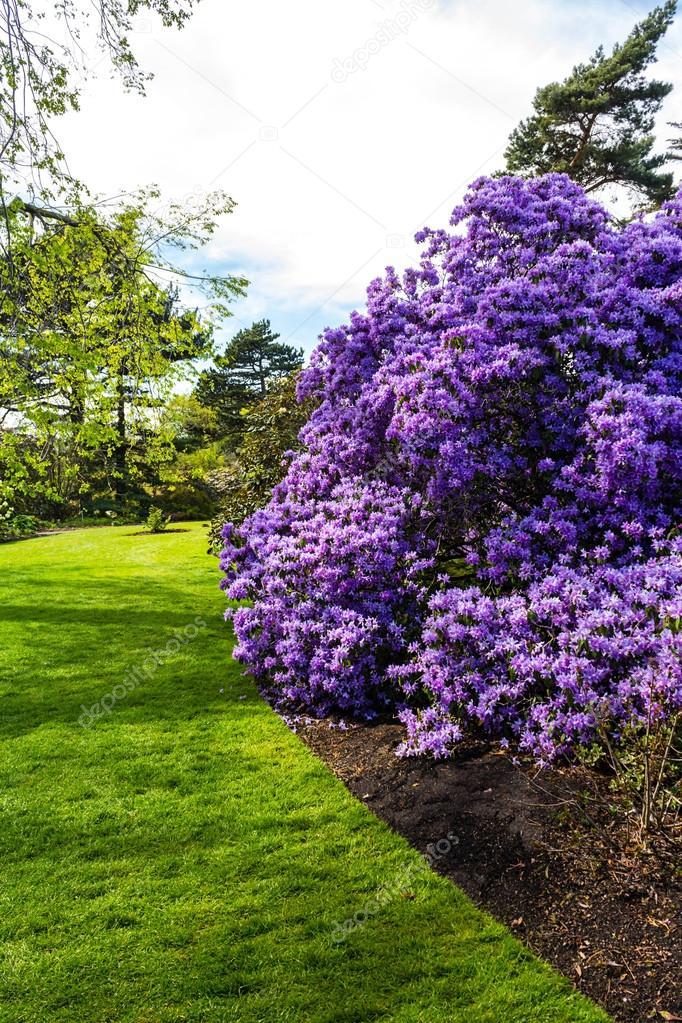 Bonito jardim bot nico na primavera com rvore violeta - Rododendro arbol ...