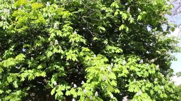 Větve stromů s pružinou listů ve větru, video
