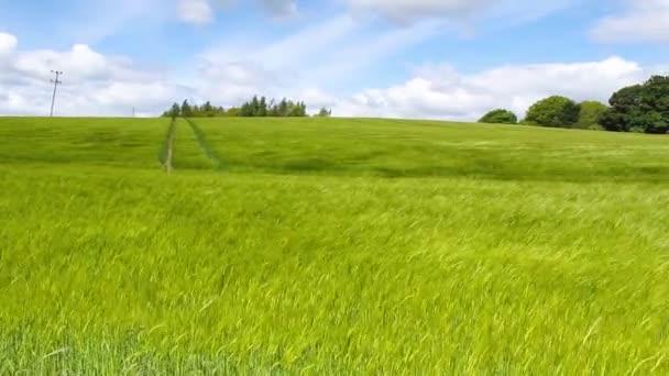Zelené pole ječmene, fouká vítr a modré obloze, Hd