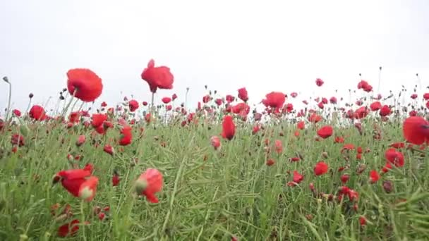 Fields of red poppies in the wind, HD footage