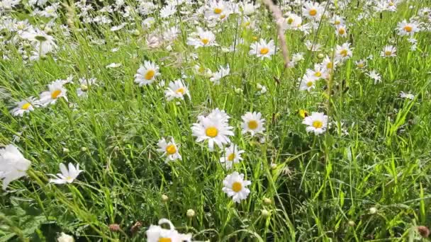 Meadow of daisies in the wind, HD footage