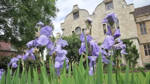 Light violet iris flowers in bloom, HD footage