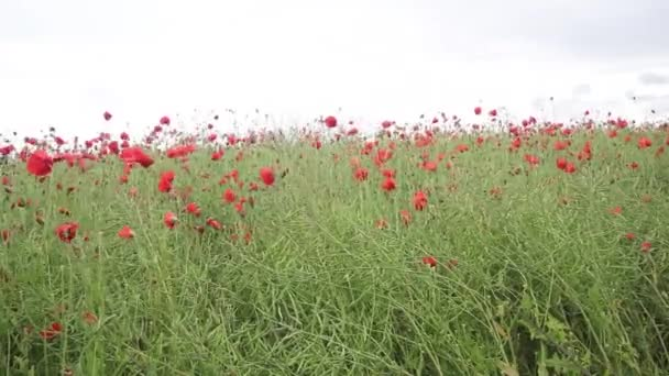 Red poppies meadow in the wind, HD footage