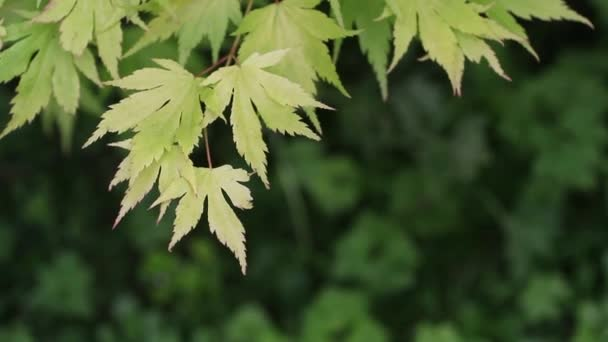 Green leaves, Japanese maple branch, Acer, close up HD footage