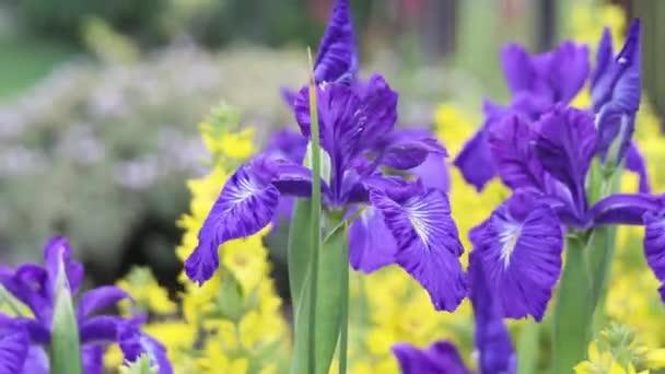 Violet Iris flowers in the wind, HD footage