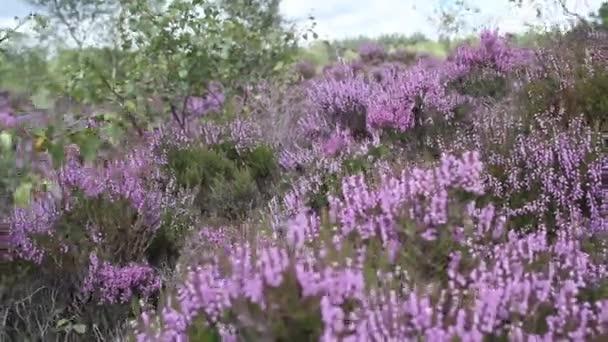 Fields of blooming heather in Scotland, HD footage