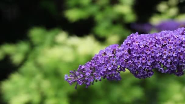 Krásné fialové květiny v zahradě, zblízka, Hd záběry