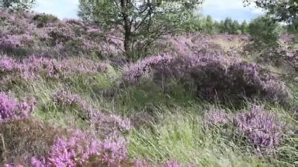 Fields of blooming heather, Scotland, HD footage