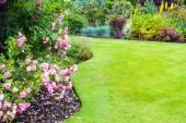 Krásné světle růžové růže keře v zahradě viktoriánského