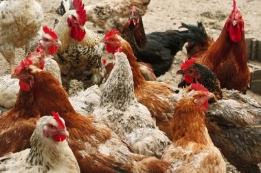 Chickens of different breeds on the poultry yard