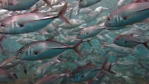 School of fish Bigeye Trevallies (Tursiops truncates) reefs Bali