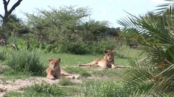 Lev divoký nebezpečný savec africká savana keňa
